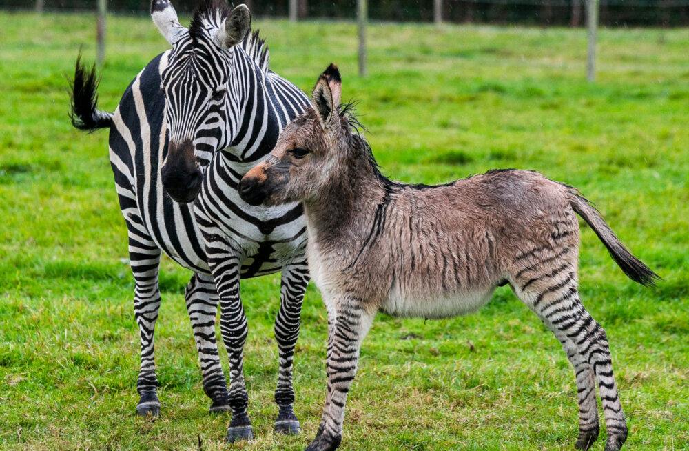 Трагедия в мини-зоопарке Латвии: посетители отравили жеребенка зебры сладостями