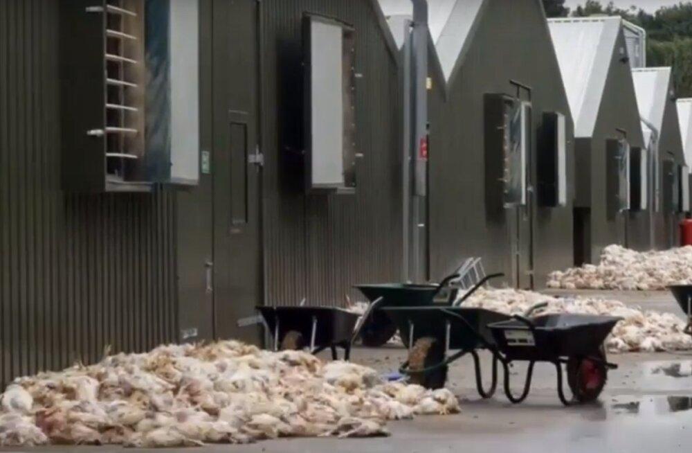 Ühendkuningriigi suurimaid supermarketeid varustavas farmis surid kuumalaine tõttu tuhanded kanad
