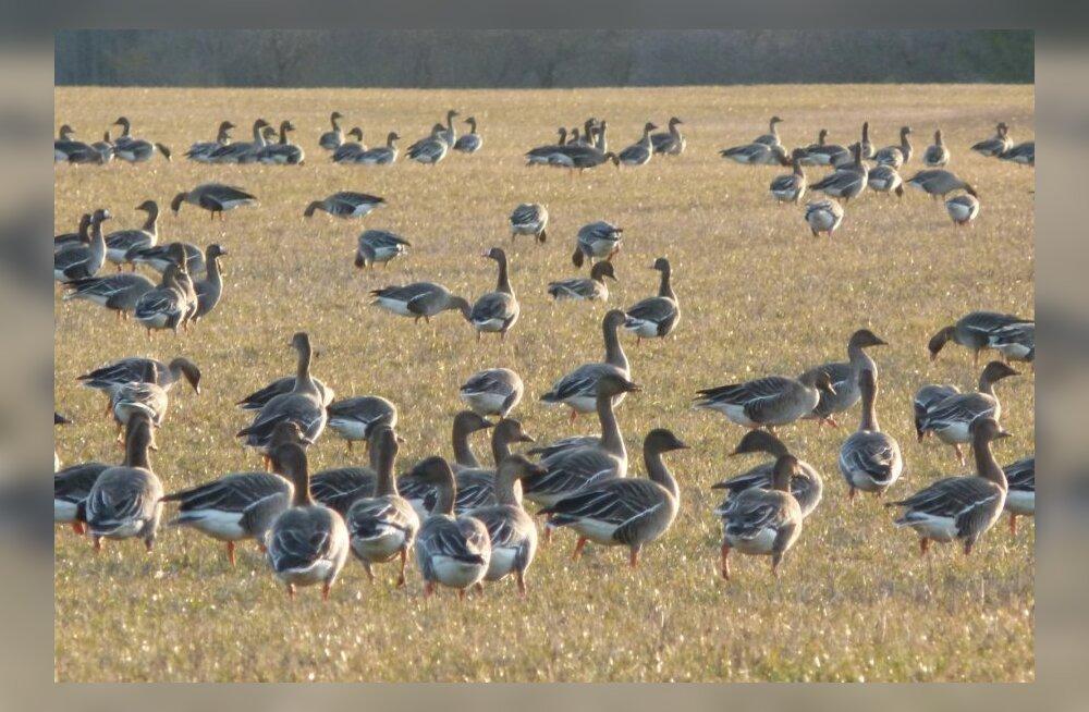 Kevad 2014. Läbirändajad rabahaned ja suur-laukhaned põllul söömas