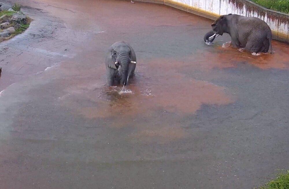 LÕÕGASTAV VIDEO | Südasuvi Tallinna loomaaias - elevandid võtavad vanni