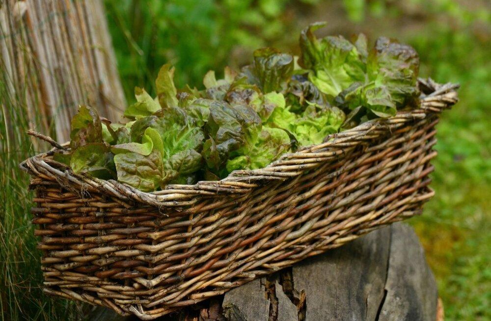 Salatitaimi saab edukalt kasvatada isegi rõdukastis.
