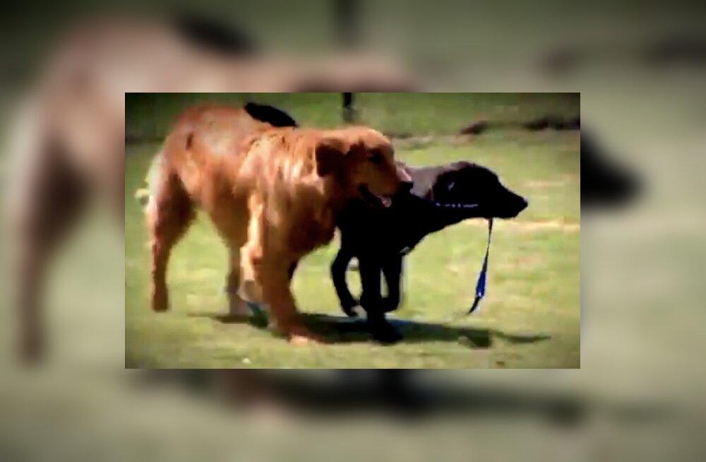 Imeline sõprus! Labrador aitab pimedal koeral elus hakkama saada