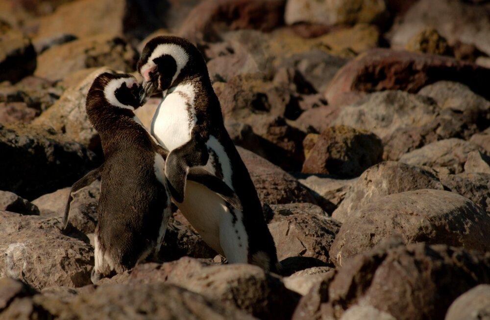 Berliinis elevust tekitanud geipingviinipaar loodab sügisel lapsevanemateks saada