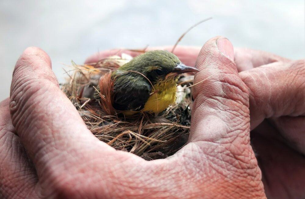 Lasnamäel käib lindude päästmisoperatsioon täie hooga