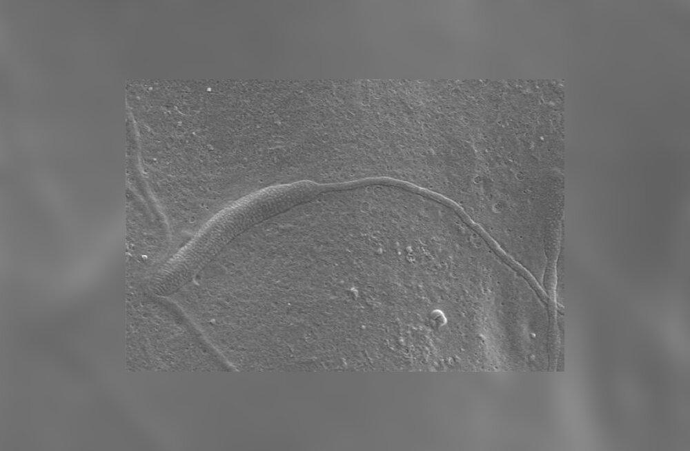 Teadlastele põnev leid: 10 miljonit aastat vana spermatosoid!