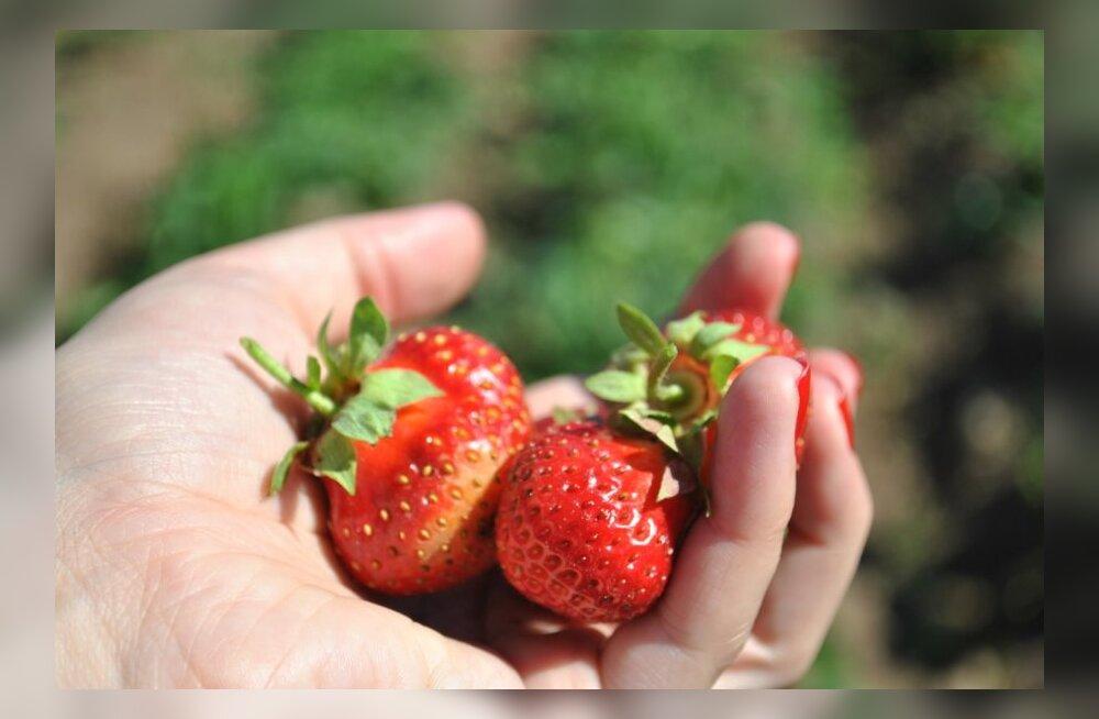 Saare maasikakasvatajad: sooja suve oleks vaja