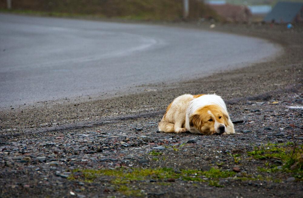 Südantliigutav truudus: leinav koer ootab maantee ääres juba üle aasta oma hukkunud peremeest