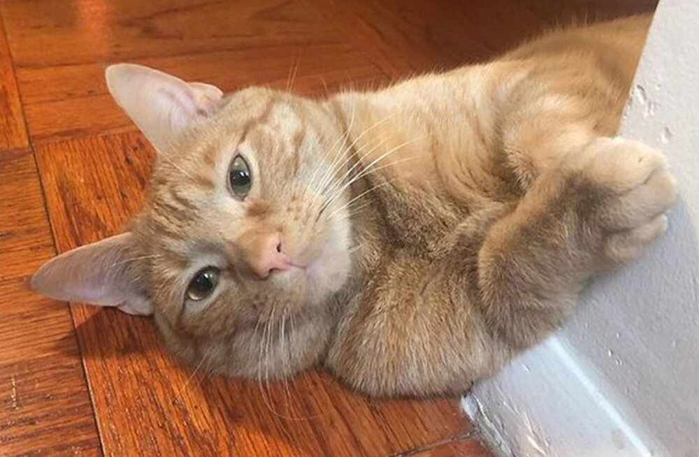 Хитрый кот, ворующий еду из холодильника, стал звездой соцсетей