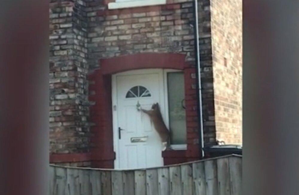 Hämmastav VIDEO | Inglismaa kõige viisakamal kassil on tuppa küsimiseks ennenägematu viis