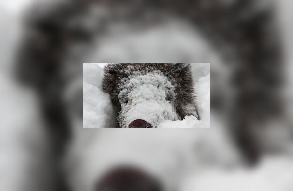 Koolipoiss püüdis kaamerasse silmini lumes metssead