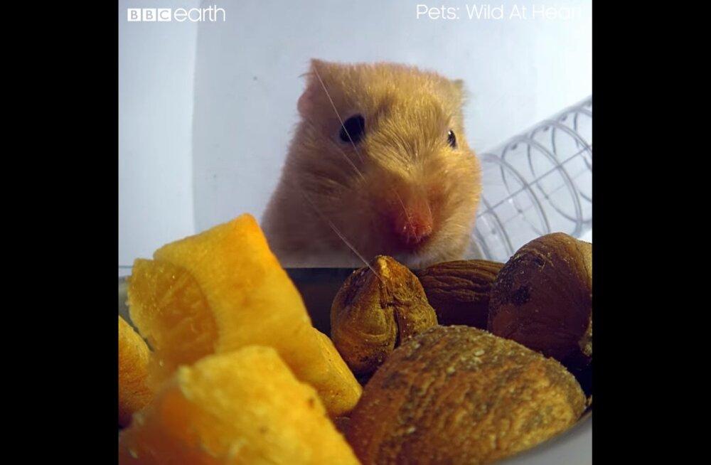 VIDEO | Kuidas see ikkagi võimalik on? Hamster mahutab põske korraliku toiduvaru