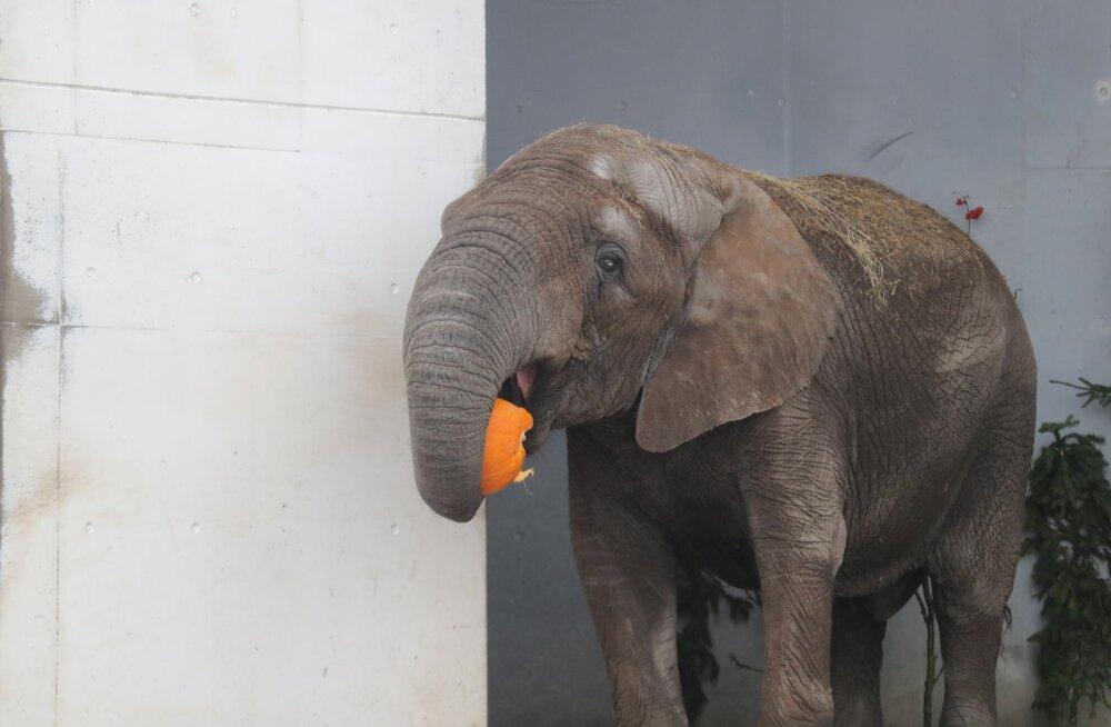 Порадуйте животных в Таллиннском зоопарке — отправьте бесплатно тыкву с помощью курьера