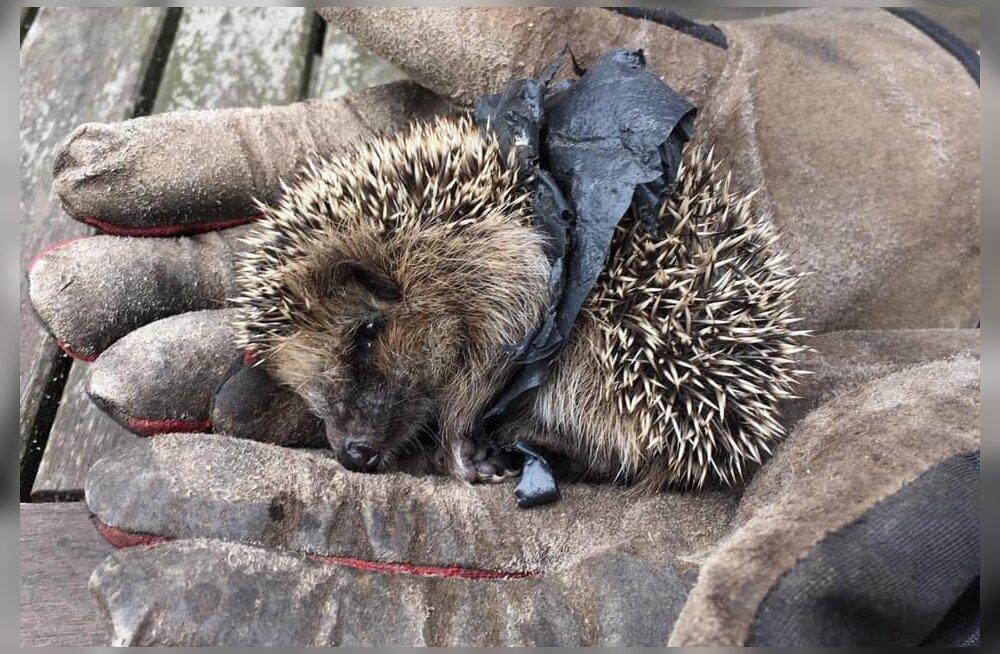 Hiiumaalt leiti siil, kel oli kiletükk naha sisse kasvanud, looma elu päästmiseks tuli teda opereerida