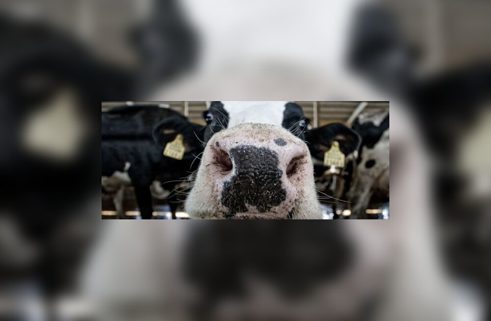 Mmm! Indias valmistatakse lehma uriinist jooki
