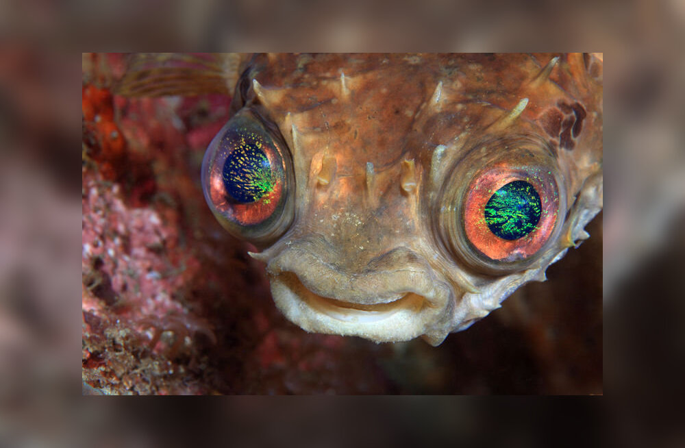 Õõvastav silmaparasiit võtab üle kala aju (ja tagab, et kala lõpuks nahka pistetaks)