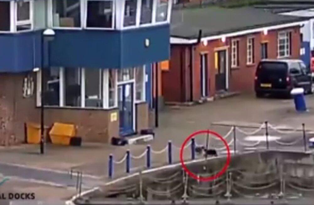 VIDEO: Juhuslik mööduja päästis Londonis Thamesi jõkke kukkunud kassi