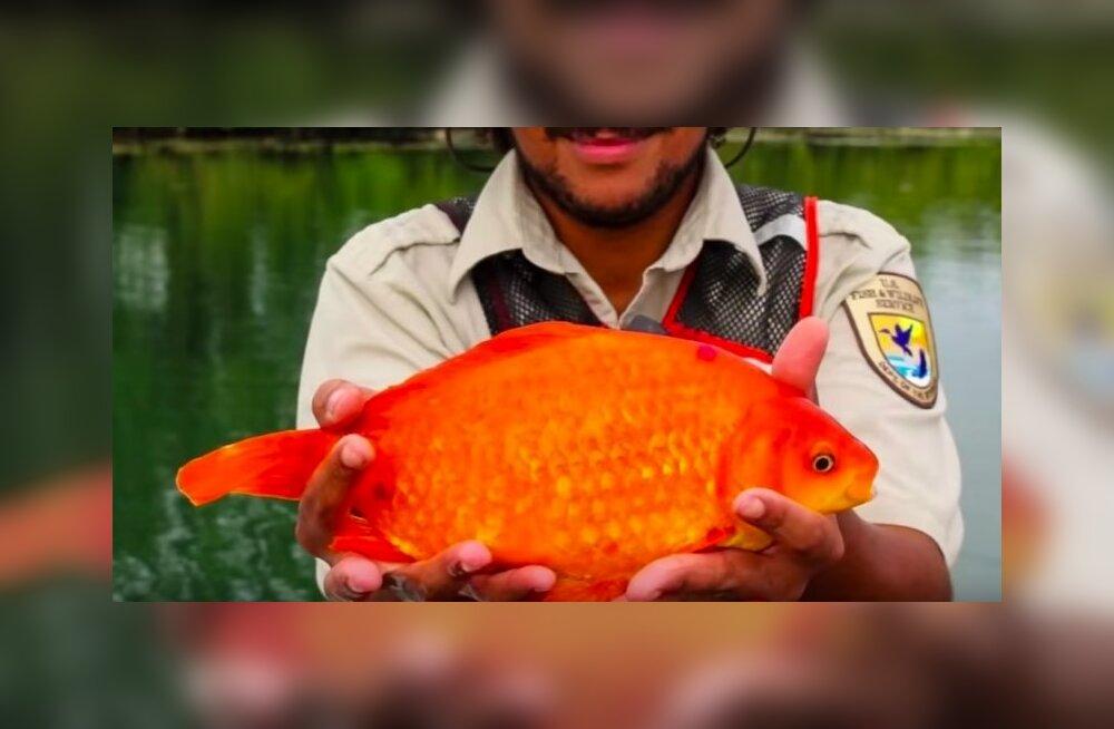 ВИДЕО: В Ниагаре поймали гигантскую золотую рыбку