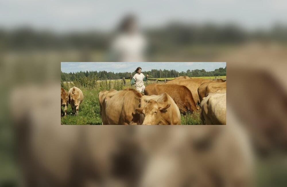 Eesti maatõugu lehmade piimarekordid