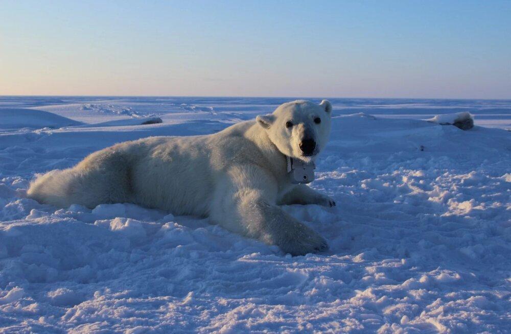 Jääkarud on tõsises nälga jäämise ohus