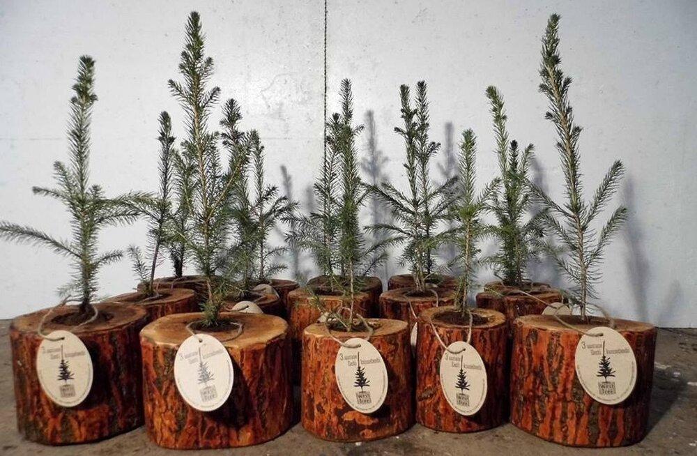 От клиентов отбоя нет! В Эстонии появилась фирма, которая сдает живые рождественские елки в аренду