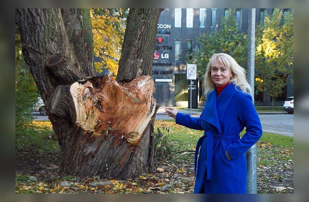 Дерево или жизнь? Упавшие ветки ивы чуть не убили людей, но власти не дают рубить опасные деревья