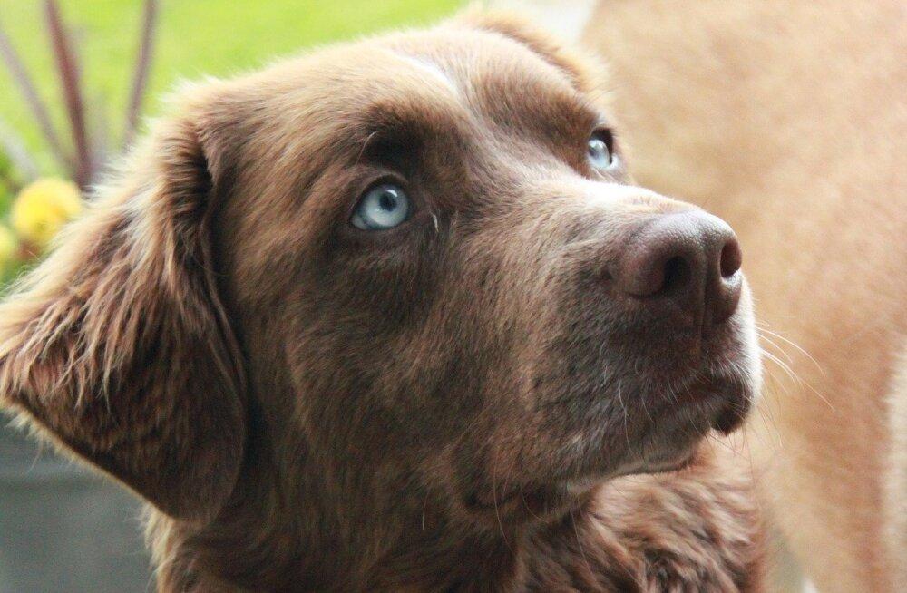 Koer jõllitab ja uriseb toanurka: kas koerad on võimelised vaime nägema?
