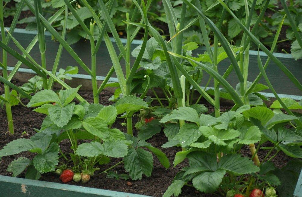 Strelna Peeter I köögiviljaaed maasikas küüslauk