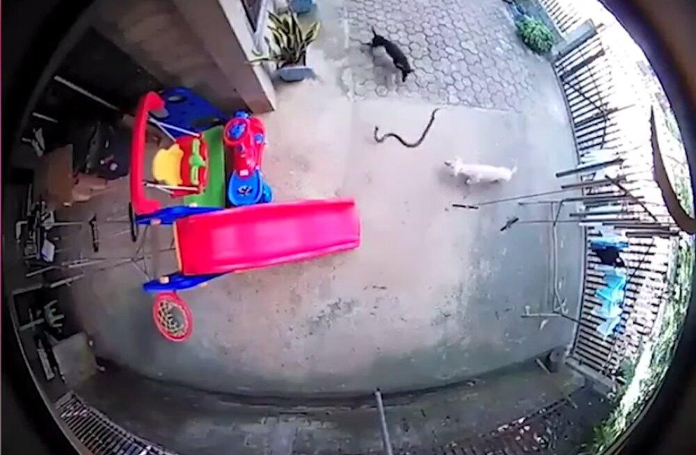 VIDEO | Kangelastest koerad päästsid oma elu hinnaga magava imiku mürgise kobra käest
