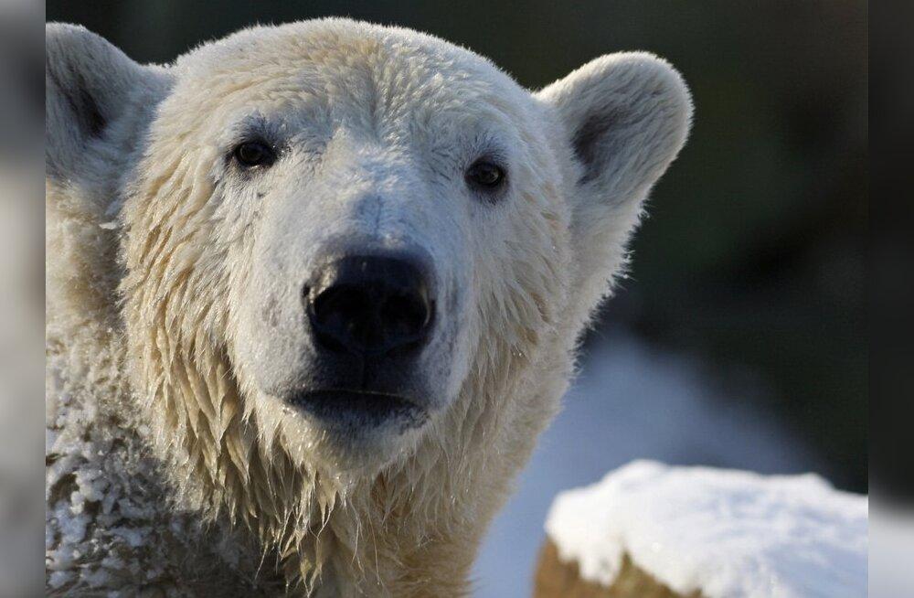 Установлена причина смерти знаменитого белого медведя