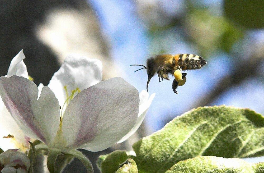 Mesilane nõelas - mida teha?