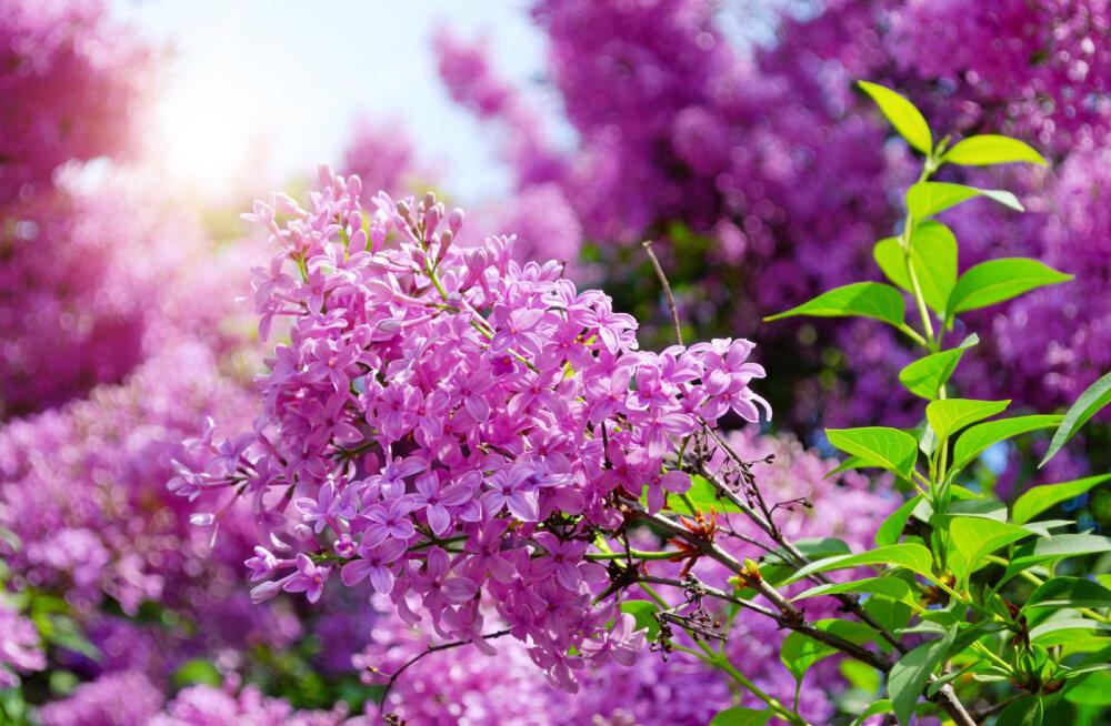 Pühapäeval on rahvakalendri järgi suvistepüha: too tuppa haljaid oksi ja lilli, et suurendada õnne ja elujõudu