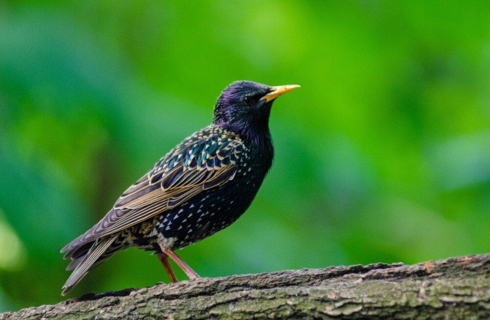 Птицей года в Эстонии был выбран скворец