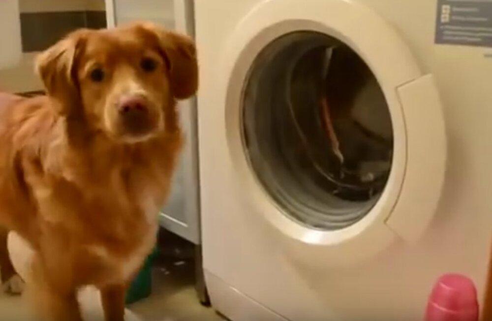 Perenaise nutikas abiline: kodutöid armastav koer peseb pesu nagu tõeline proff