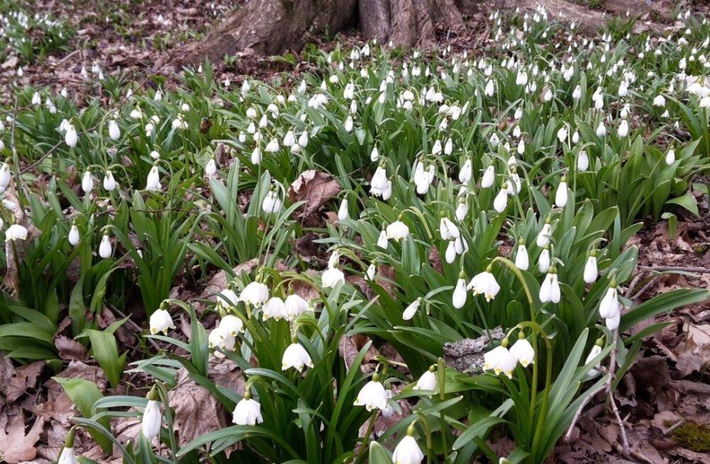 Ilmselt võib selline vaatepilt avaneda ka mõnes Inglismaa mõisapargis. (Galanthus plicatus, Leucojum vernum.)
