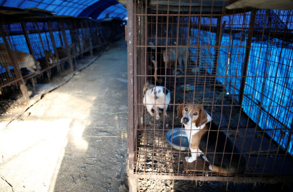 Koerafarm Lõuna-Koreas Wonjus