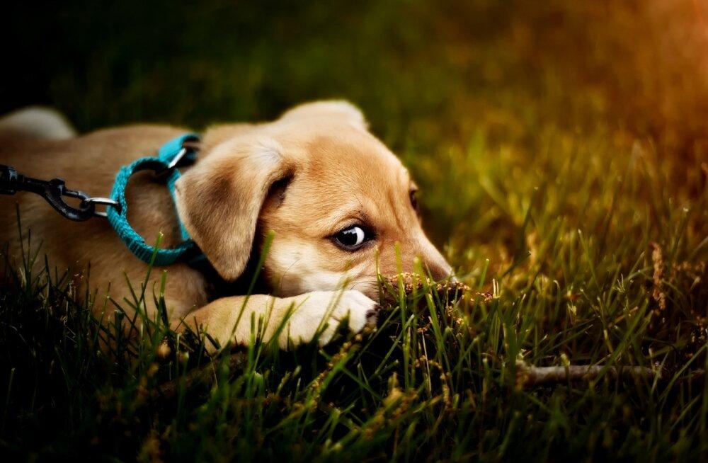 8 rumalat müüti koerte kohta