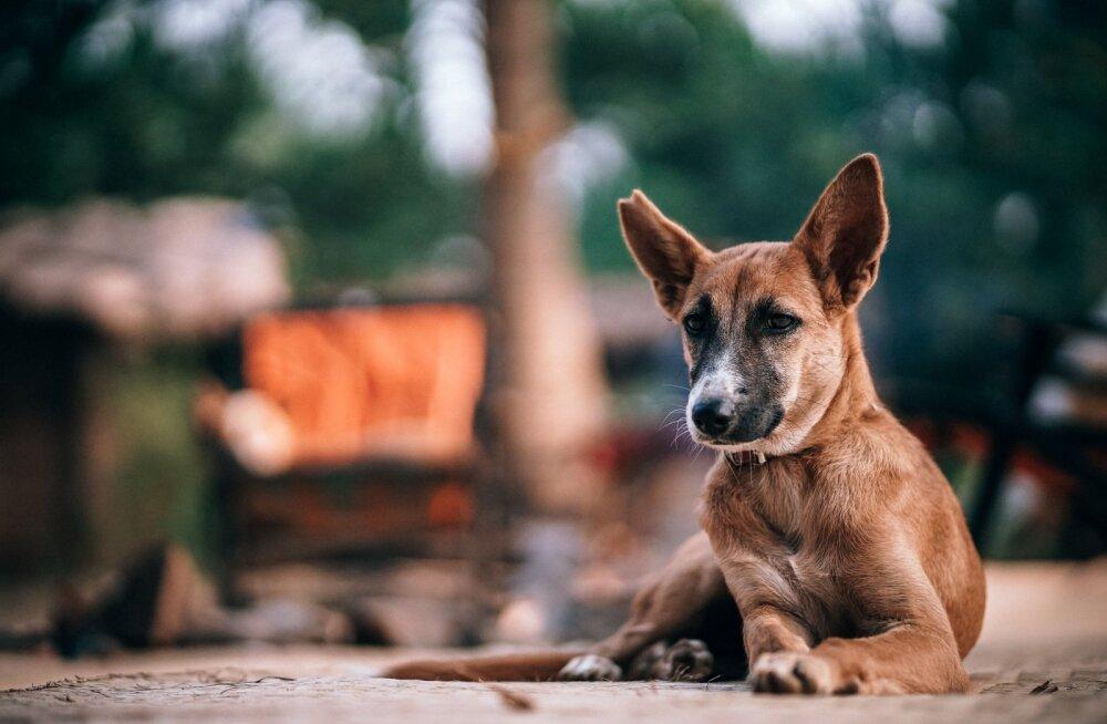 Vahetad elukohta või suvitad maakodus: nippe, kuidas koeraga valutult kolida