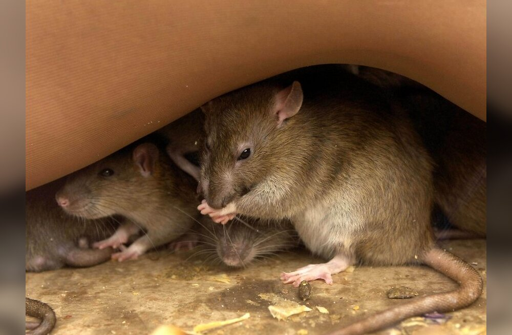 Keep Britain Tidy unveils a new campaign to combat the growing number of Rats, their population is growing due to the fast food that is dropped as Litter by 15 million people, this is creating super-rats that are bigger and have a longer life-span. London