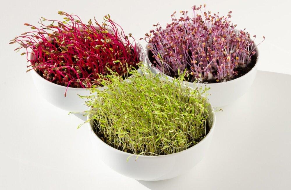 Võrsed on väga tugevalt taimele omast värvi.