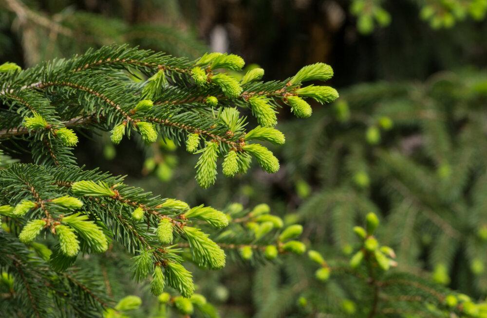 Terviseturgutus metsast | Erkrohelised kuusevõrsed on C-vitamiini rikkad ja maitsvad