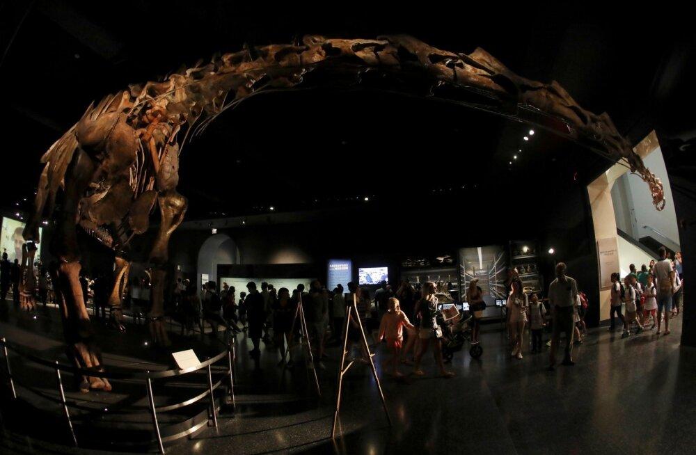 Skeleti mudel on väljas New Yorgis Ameerika loodusajaloo muuseumis. See on nii suur, et skeleti pea ei mahu kerega samasse ruumi.