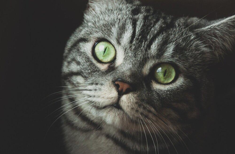 Kui sinu kass on diabeetik: 6 nõuannet, kuidas tulla toime diabeetikust kassiga