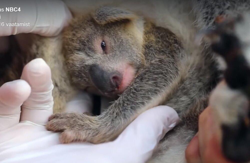 """IMEARMAS VIDEO <span style=""""color: #222222; font-family: Roboto, Helvetica, Arial, sans-serif;""""> </span> Austraalia rahvuspargis sündis pärast maastikupõlenguid esimene koaalapoeg"""