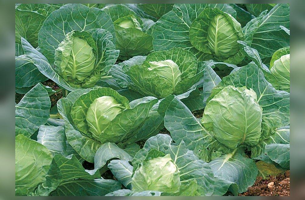 TABEL: milliseid taimi tasub kõrvuti kasvatada?