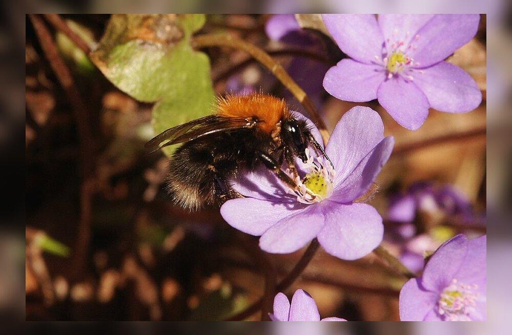 loodus, sinililled, mesilane