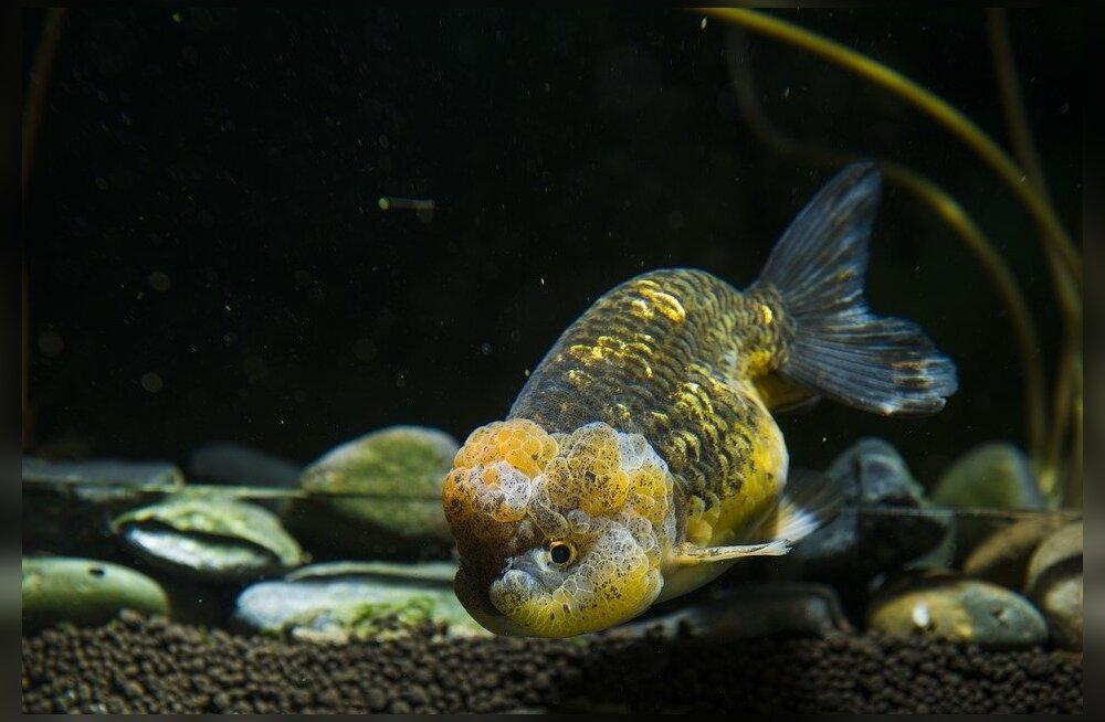 Algajale akvaariumihuvilisele: Soovitusi akvaariumi hooldamisel