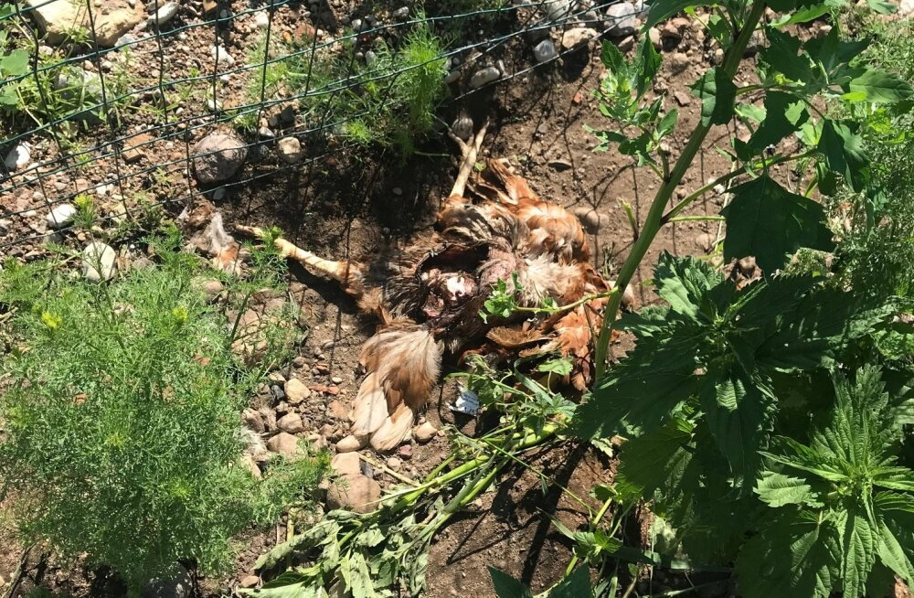 Ilvese murtud kana pole Mahemuna OÜs enam võõras vaatepilt, kuid teisipäevase seisuga polnud kiskja külas käinud kuus päeva.