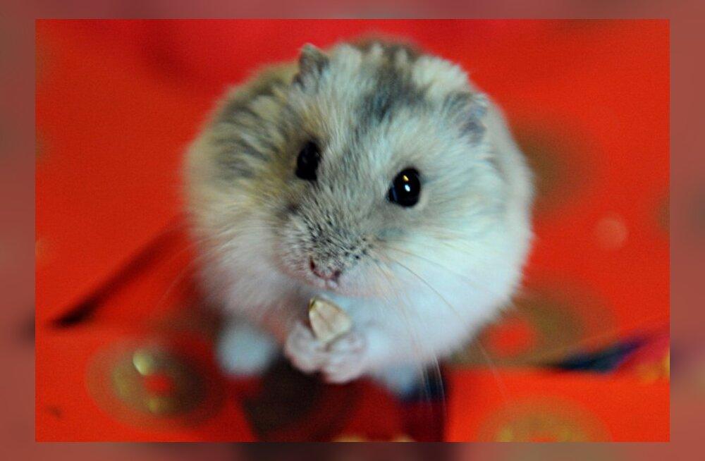 Hamster ärkas ülestõusimispühade ajal surmast üles ja sai hüüdnimeks Jeesus