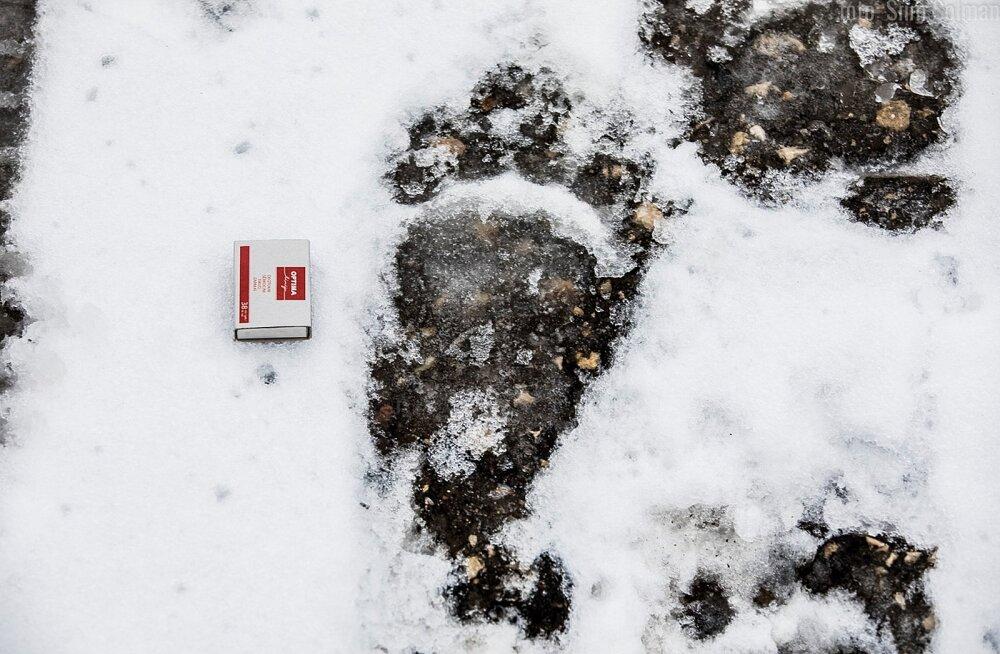 JÄLJEFOTOD | Raplas jalutas ringi kolme pojaga emakaru