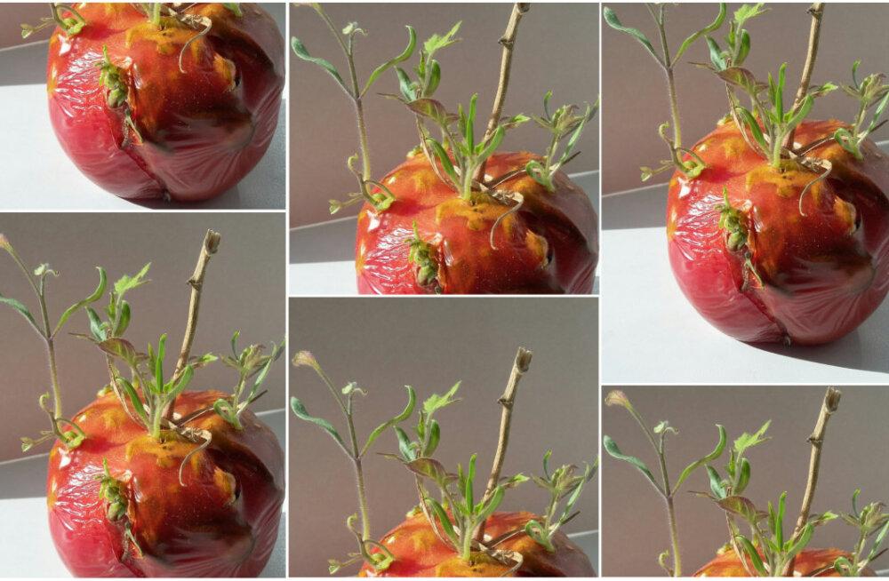 PÄEVAPILT | Poest ostetud ja aknalauale jäetud tomatist hakkasid idud päikese poole sirutuma